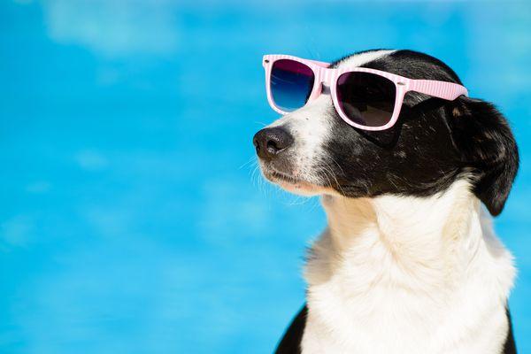 海をバックにサングラスをかけた犬
