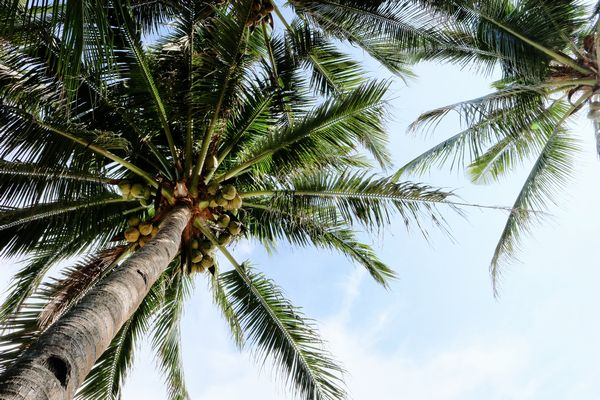 フィリピンのビーチにあるヤシの木