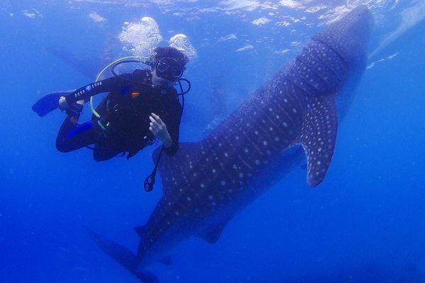 フィリピンのオスロブでジンベエザメと泳ぐダイバー