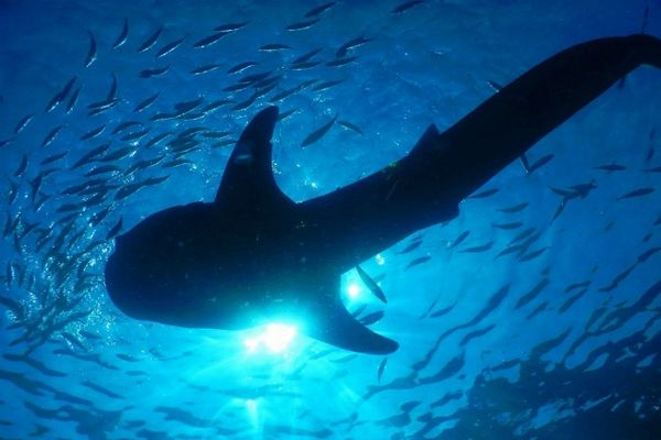 ジンベイザメの魚影